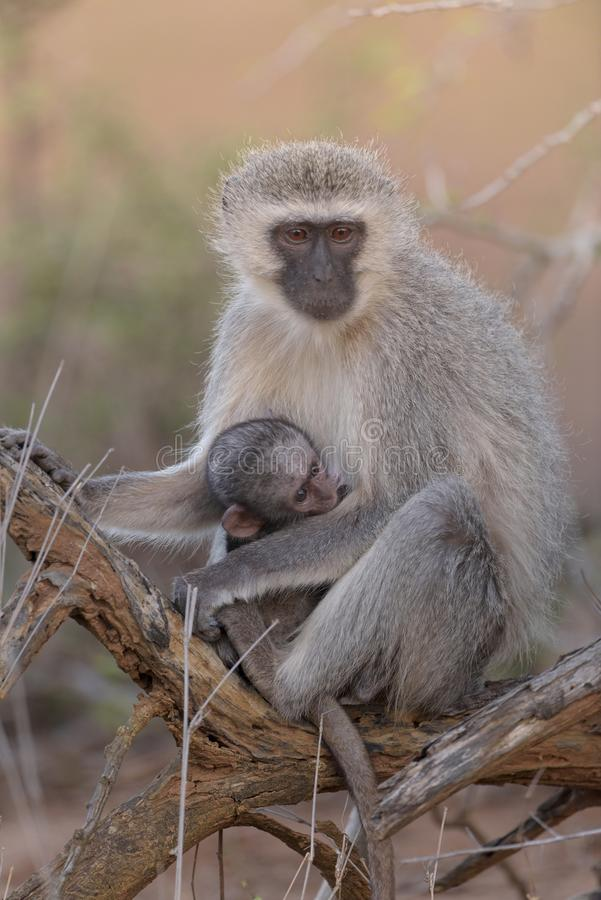Vertical shot of a baboon holding its child stock images