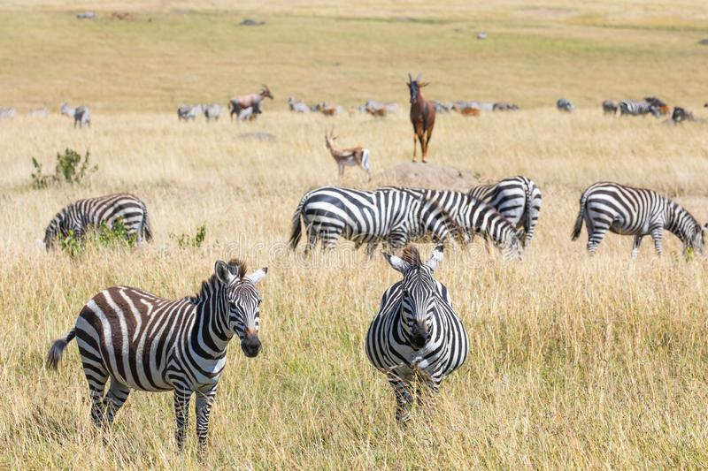 Masai Mara, Kenya, safari scene with grazing zebra, Topi, and Thomsons gazelle in landscape with tall grass stock image