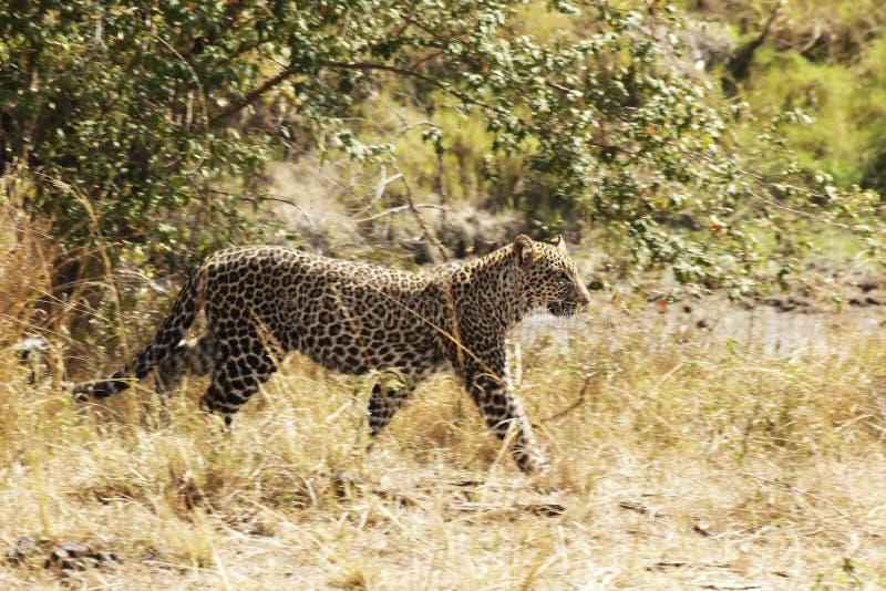 Masai Mara Leopard fotografia de stock royalty free