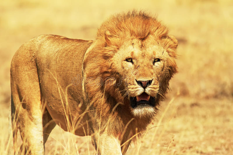 Masai Mara Lion royalty free stock photos