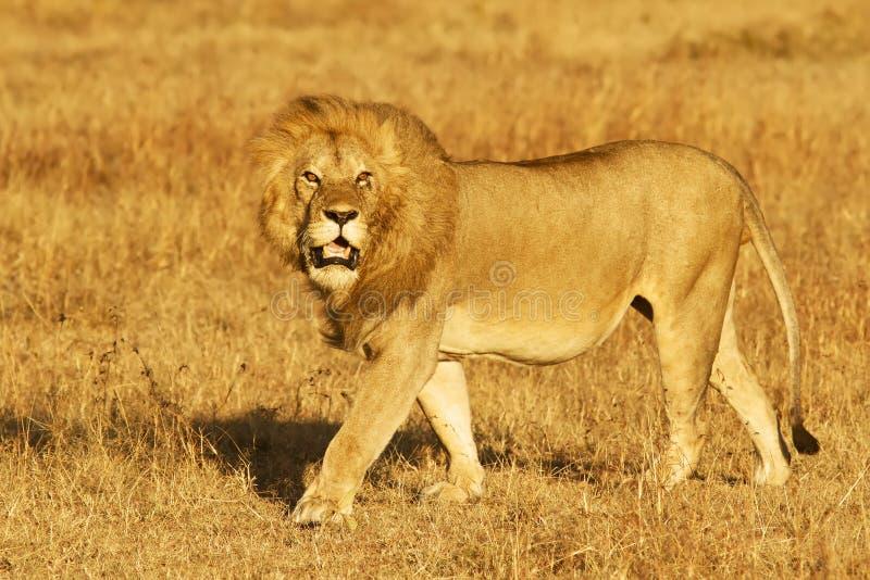 Download Masai Mara Lion stock image. Image of national, animal - 22192589