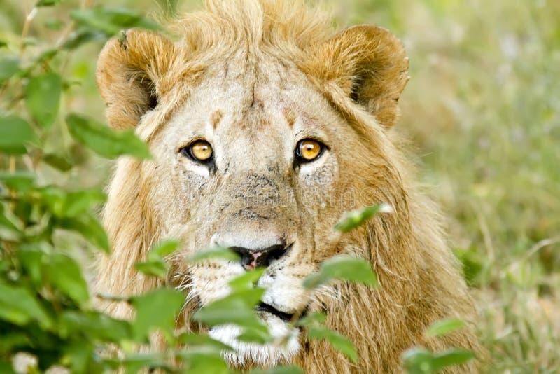 Masai Mara Lion stockfotos