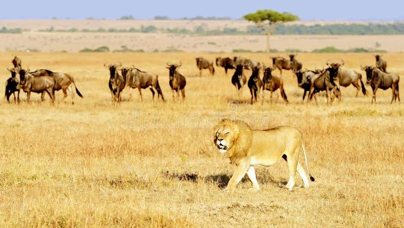 MASAI MARA LION fotos de stock