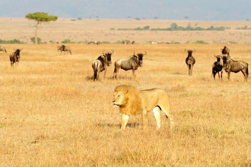 MASAI MARA LION fotos de archivo