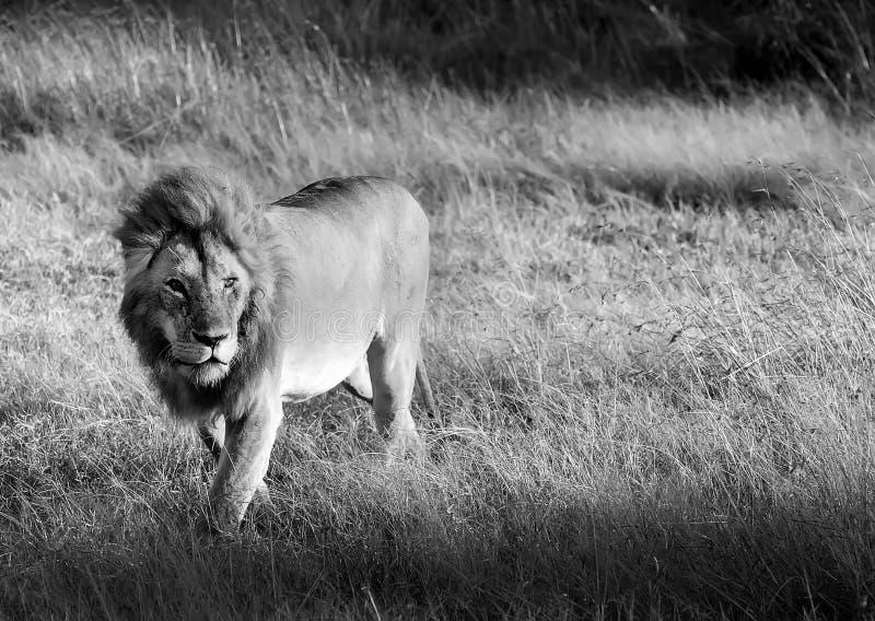 MASAI MARA LION fotografia stock libera da diritti