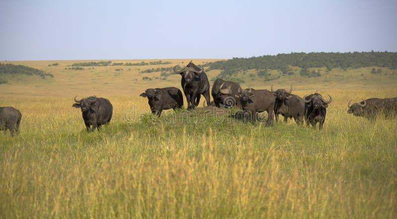The Masai Mara national reserve in Kenya royalty free stock image