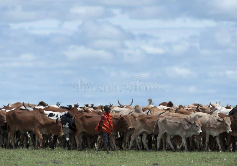 Masai Mara-Vieh, das oben auf grünem Gras mit blauem Himmel weiden lässt lizenzfreies stockbild