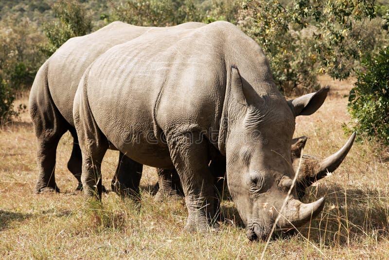 Masai Mara White Rhinoceros. White Rhinoceros or Square-lipped rhinoceros (Ceratotherium simum) near the Masai Mara National Reserve southwestern Kenya royalty free stock photography