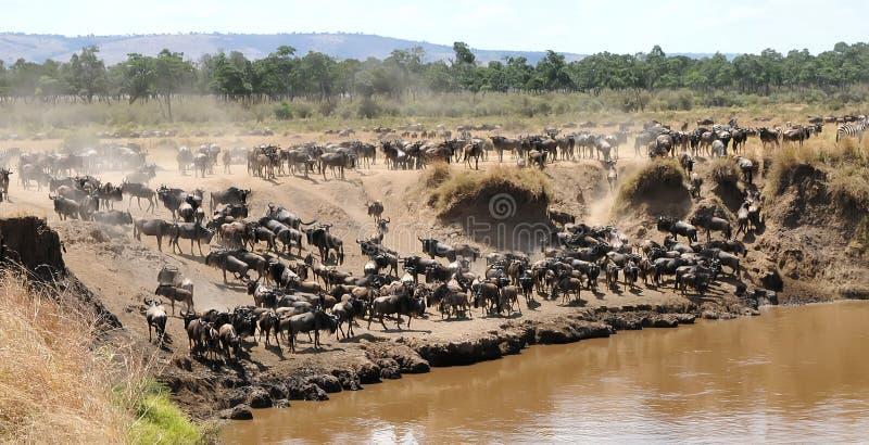 Masai Mara Wildebeests images libres de droits