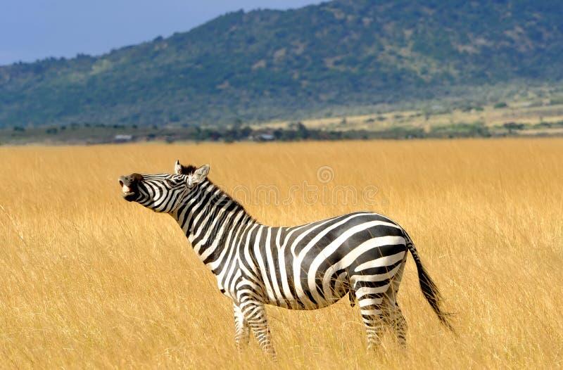 Masai Mara Zebra lizenzfreies stockbild