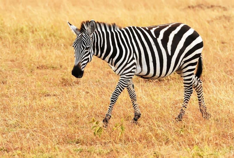 Masai Mara Zebra fotografia stock
