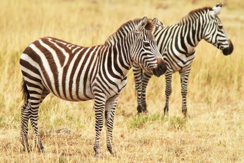 Download Masai Mara Zebras stock image. Image of african, mara - 22177619