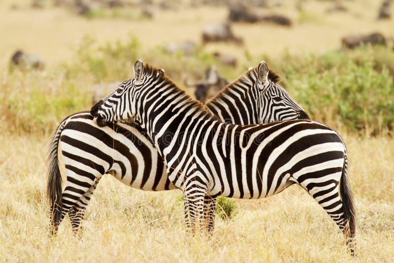 Download Masai Mara Zebras stock image. Image of affection, mara - 30933149