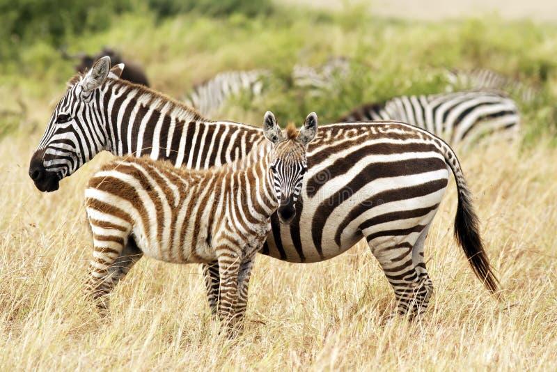 Masai Mara zebry zdjęcia stock