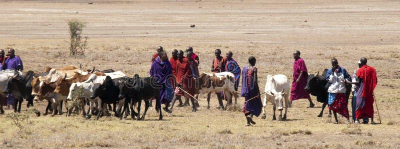 Masai que reúne ganado imagenes de archivo