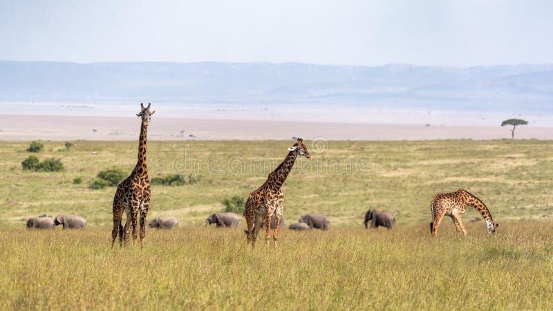 Masai słonie w obszarach trawiastych i żyrafa obraz royalty free