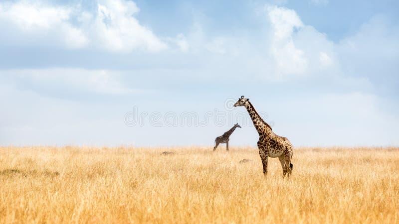 Masaigiraf in de Vlaktes van Kenia royalty-vrije stock afbeelding