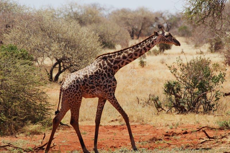 Masaigiraf die in de savanne lopen stock foto