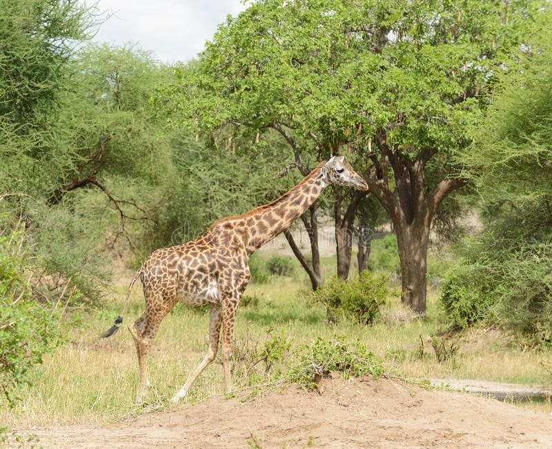 Masaigiraff i Tanzania arkivfoton