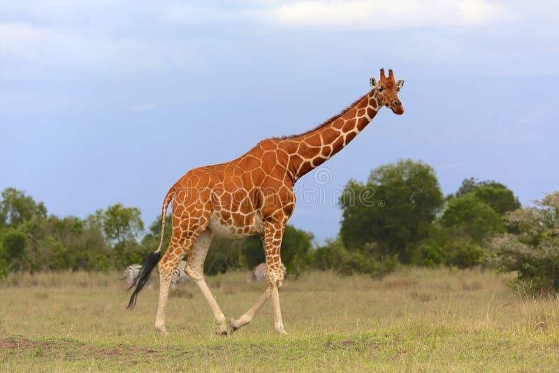 Masaigiraff på samburunationalparken royaltyfri fotografi