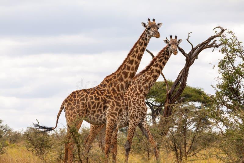 Masaigiraff - Tarangire NP royaltyfri foto