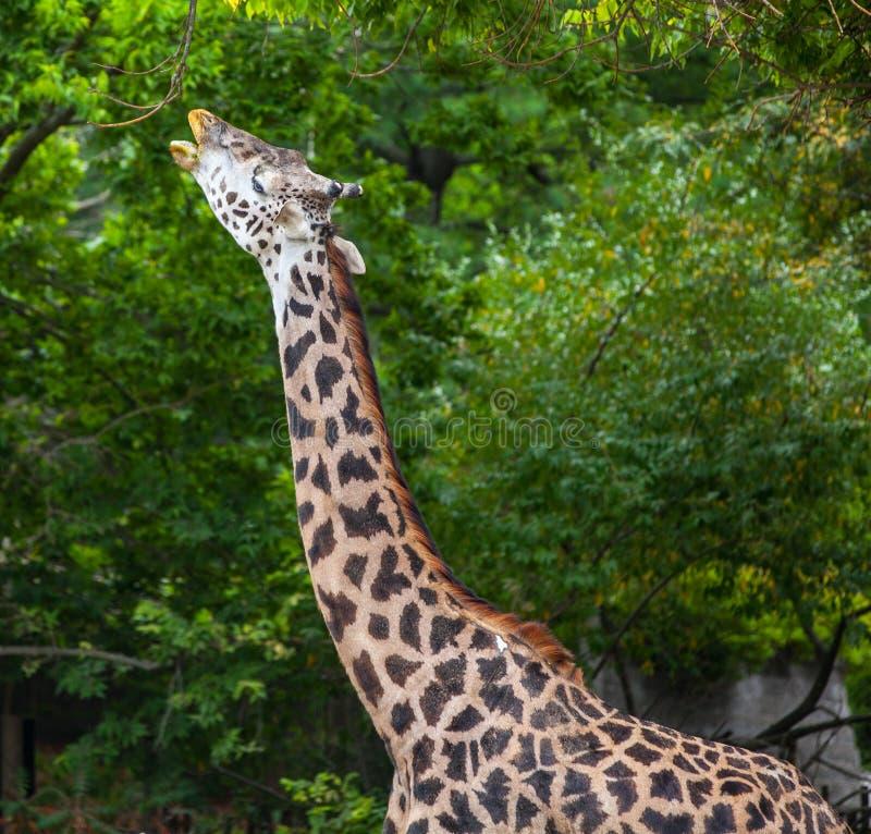 Masaigiraffe lizenzfreies stockfoto