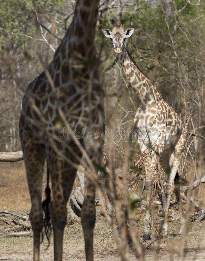 Masaigiraffe, Selous-Spiel-Reserve, Tansania lizenzfreie stockfotografie