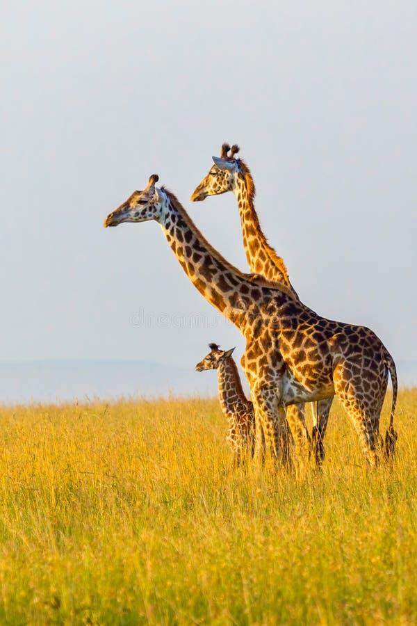 Masaigirafffamilj arkivfoton