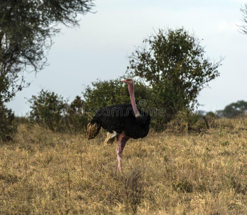 Masaistruisvogel, als de roze-necked struisvogel ook wordt bekend die royalty-vrije stock fotografie
