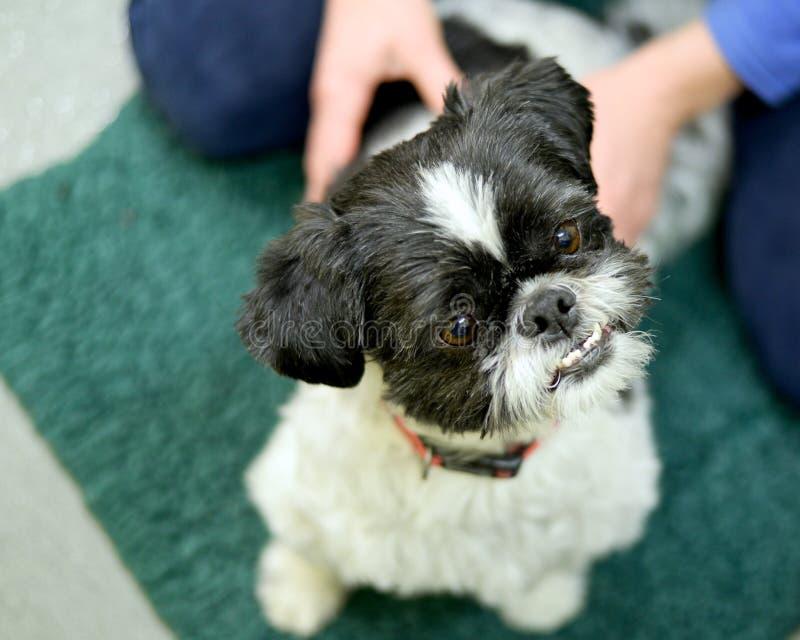 Masaje del perro en los veterinarios foto de archivo