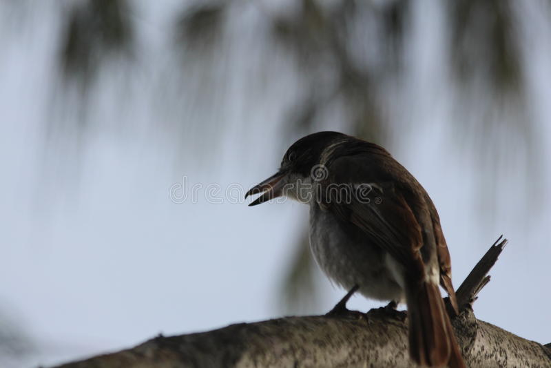 Masarka ptak fotografia stock