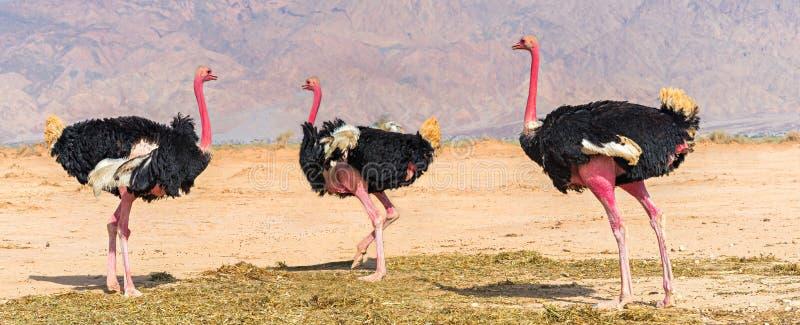 Maschi adulti dello struzzo africano (struthio camelus) fotografia stock