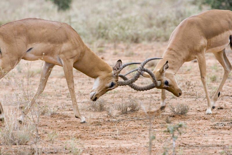 Maschi del impala di combattimento. fotografia stock libera da diritti