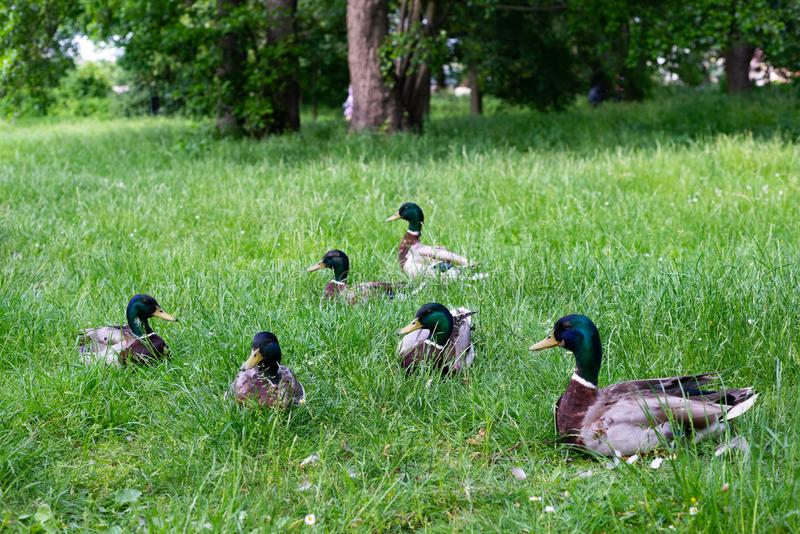 Maschi delle anatre nel parco dell'erba fotografia stock