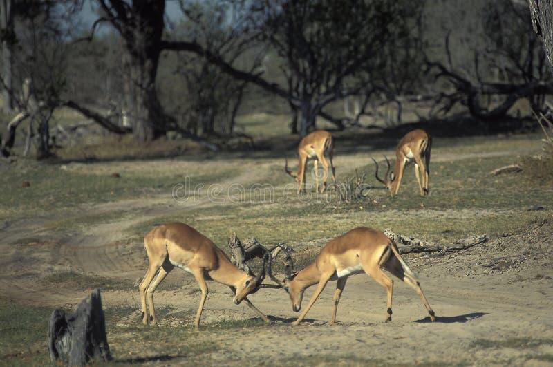 Maschi delle gazzelle che combattono, Botswana dell'impala fotografia stock