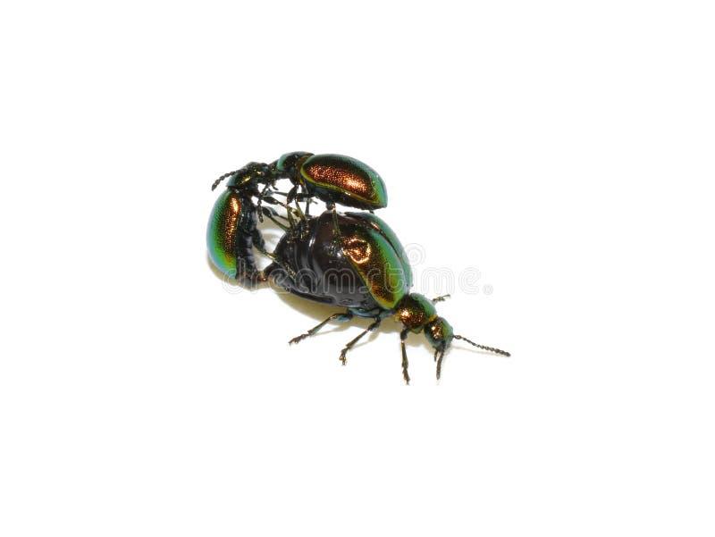 Maschi verdi dello scarabeo del bacino che combattono per la femmina accoppiamento fotografia stock libera da diritti