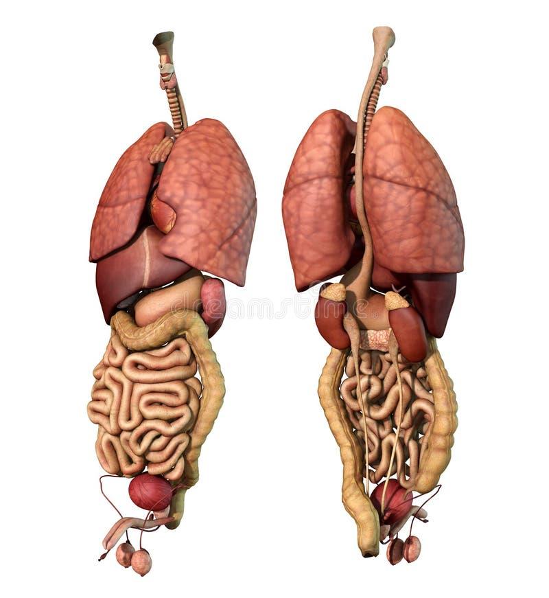 Maschio adulto degli organi interni - parte anteriore e vista posteriore illustrazione di stock