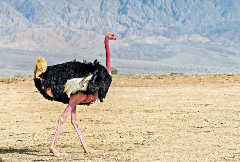 Maschio adulto dello struzzo africano (camelus dello Struthio) immagine stock libera da diritti
