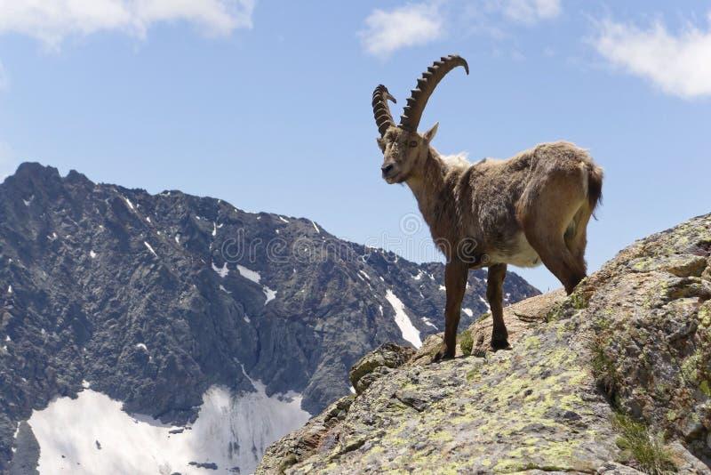 Maschio alpino dello stambecco - capra ibex - alpi, Svizzera fotografie stock libere da diritti