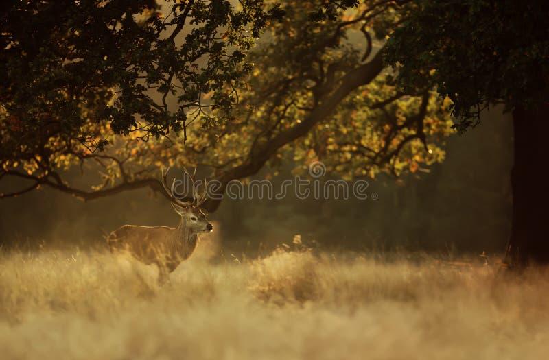 Maschio dei cervi nobili alla luce di primo mattino immagini stock libere da diritti