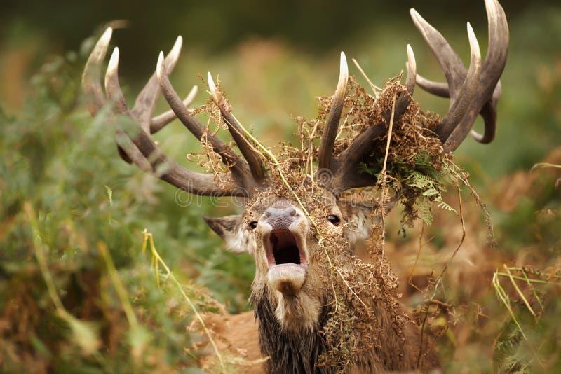 Maschio dei cervi nobili che rugge con le felci coperte intorno ai suoi corni immagine stock