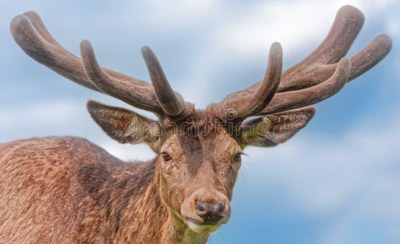 Maschio dei cervi nobili con i corni strutturati del velluto fotografia stock libera da diritti