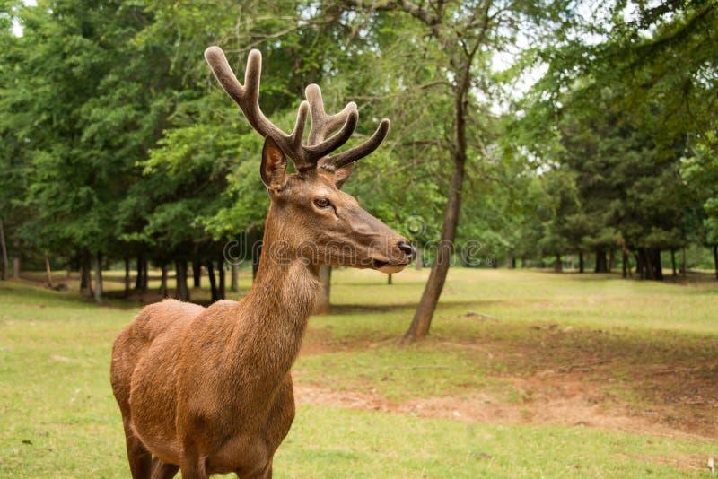 Maschio dei cervi nobili con i grandi corni in velluto immagini stock libere da diritti