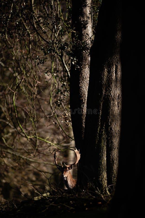Maschio dei cervi nobili in Forest Setting scuro fotografie stock libere da diritti