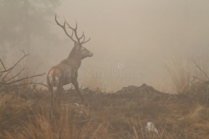 Maschio dei cervi nobili in nebbia di mattina fotografie stock libere da diritti