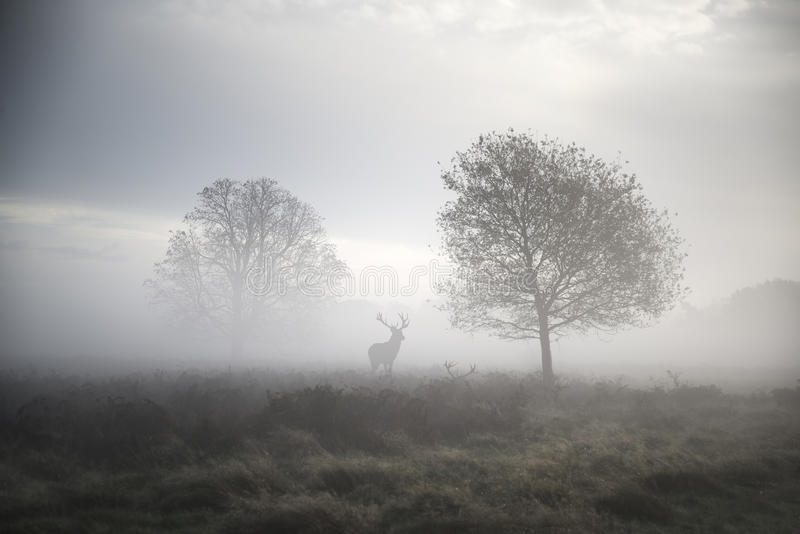 Maschio dei cervi nobili nel paesaggio nebbioso atmosferico di autunno immagini stock libere da diritti