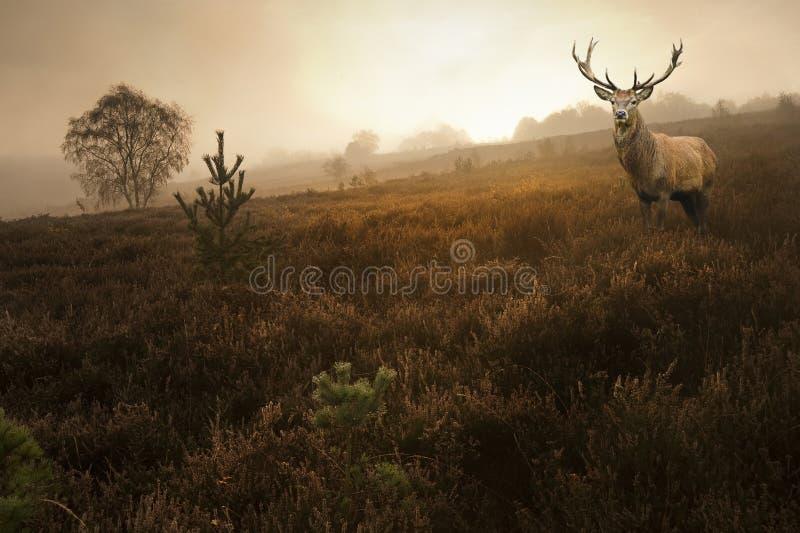 Maschio dei cervi rossi nel paesaggio nebbioso di caduta di autunno immagine stock libera da diritti
