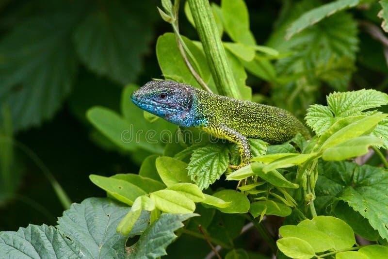 Maschio dei viridis europei della lacerta della lucertola verde con la testa del blu fotografie stock
