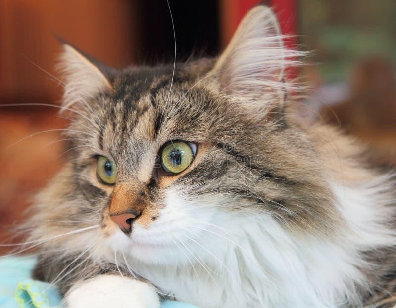 Maschio del gatto siberiano fotografia stock
