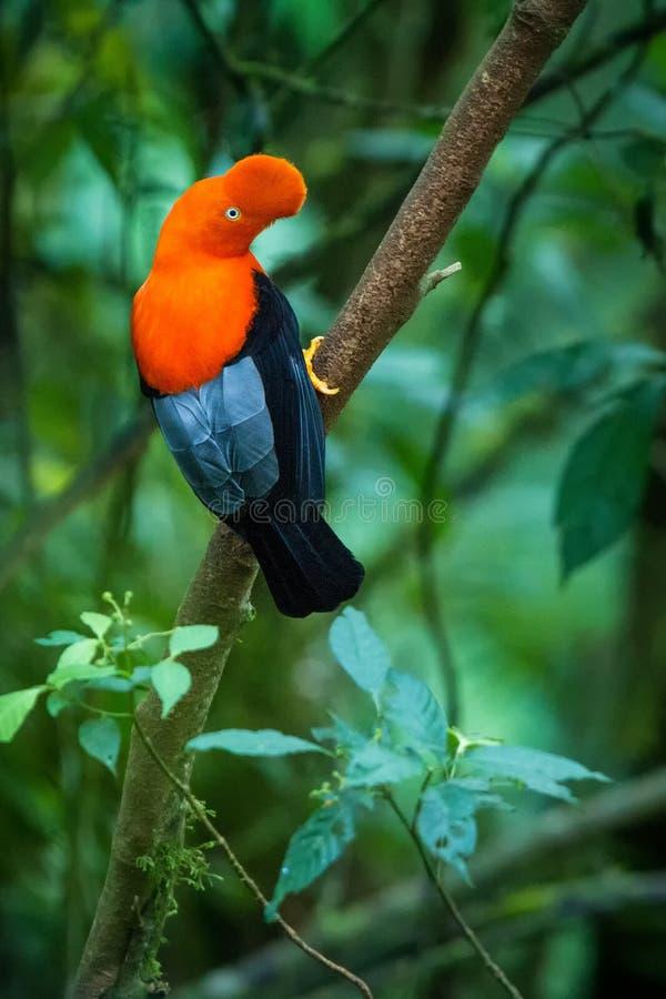 Maschio del peruvianus andino del Rupicola della Gallo-de--roccia che lekking e che dyplaing davanti alle femmine, comportamento  fotografia stock libera da diritti